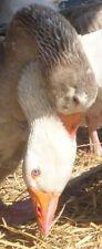 6+ Extras Pilgrim Geese Hatching Eggs From Mature, Established Flocks