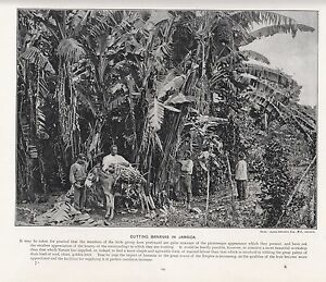 1897 VICTORIAN PRINT ~ JAMAICA ~ CUTTING BANANAS FROM TREES LOADING DONKEY