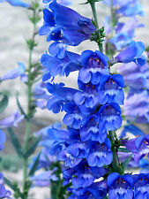 Penstemon Heavenly blue perennial Jumbo Garden Plug Plant X 3