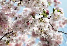 Primavera Cherry Blossom Foto Wallpaper Mural National Geographic naturaleza