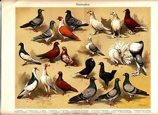 1894 Domestic Pigeon Dove Birds Antique Chromolithograph Print K.Wagner