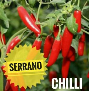 10 Serrano Chilli Seeds : UK Seller : Medium Hot Pepper 🌶️ Jalapeno Chili Plant