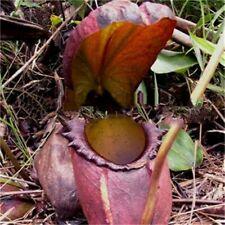 25 pcs Nepenthes bonsai Balcony Dionaea Muscipula.seeds # 216