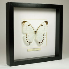 Real taxidermy butterfly mounted in black wooden frame - Morpho Luna