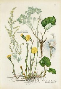 1900s COLTSFOOT GRAND WORMWOOD MEDICINAL PLANTS Antique Lithograph Print Losch