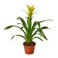 """Guzmania Bromeliad 'Yellow' - 4"""" Pot"""
