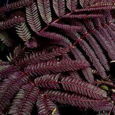 Summer Chocolate Mimosa Tree Seeds(10) Albizia julibrissin Chocolate Silk Tree