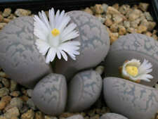 Living Stone Seed Lithops marmorata Arid Living Quartz Loving White Flower
