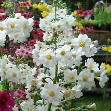 25+ PRIMULA ALBA,  PRIMROSE, WHITE PERENNIAL SHADE OR HOUSEPLANT FLOWER SEEDS