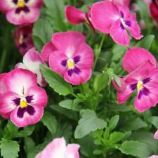 Trailing Pansy Seeds Wonderfall Rose Shades With Face 25 Pansy Seeds