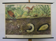 Maikäfer May bug doodle bug cockchafr Hanneton 98x71 1965 vintage animal picture