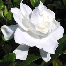 50Pcs Gardenia Cape Jasmine Jasminiodes White Shrub Flower Seeds Plant Seed