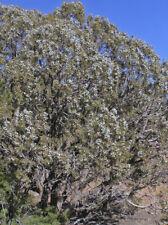 Rocky Mountain Juniper Tree Seeds, Juniperus Scopulorum