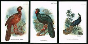 Peacock Pheasant, Penelope Guans Birds,3 Plates, Lloyd's Natural History 1896
