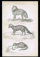 Egyptian Mongoose- Civet - Striped Hyena - Carnivora 1880 Antique Print