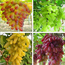 20 Seeds Grape Vine Seeds Combo 5 x ( Golden + Yellow + Green + Red) Juicy Fruit