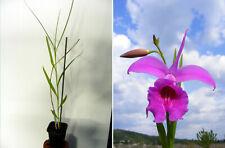 Arundina graminifolia (Pink form), orchidée, Orchid, RARE