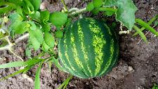 Melone für Topf Balkon, kleine Minimelone, rot , süß, Wassermelone, Zuckermelone