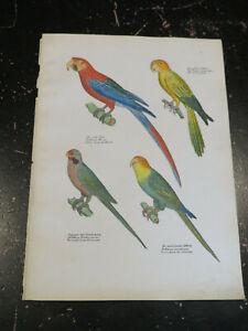 Carolina Parrot, Naturgeschichte der Vögel.Schinz, Zurich 1854 Pl# 55