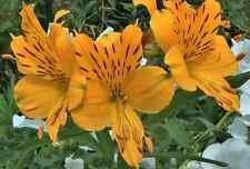 MEGA SALE! Long-flowering Alstroemeria 40 mixed Fresh seeds  £3.25 delivered