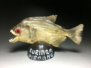 stuffed Real fish Surinam piranha taxidermy