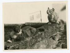 PHOTO snapshot - des chats cats oreilles rondes curiosité