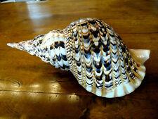 Meeresschnecke  Charonia tritonis  413mm  fantasticher  Riese
