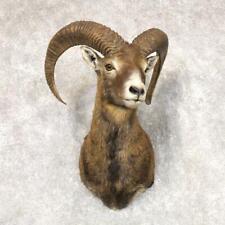 #22518 E+ | Mouflon Ram Taxidermy Shoulder Mount For Sale