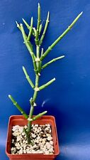 Sarcostemma Resiliens In A 4� Pot, Succulent Plant, #1614