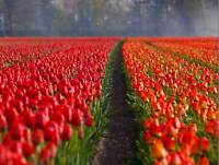 NATURE CULTURAL LANDSCAPE TULIP FARM RED PETAL POSTER ART PRINT PICTURE BB1363B