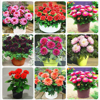 50Pcs Seeds Dahlia Flowers Plants Beautiful Rare Kinds in Home Garden and Potted