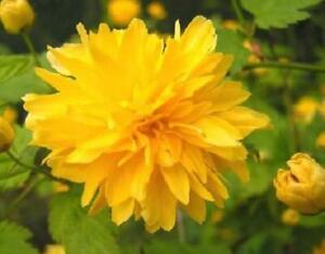 1X 3-4ft LARGE KERRIA JAPONICA PLENIFLORA PLANT - STUNNING POM POM FLOWERS - 3L