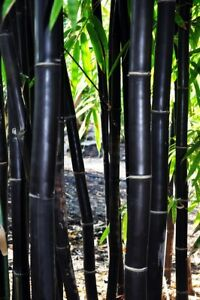 50 Timor Black Bamboo Seeds Privacy Seed Garden Clumping Exotic Shade Screen 401