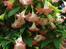 XL Plant Angel Trumpet Fragrant Flowering Pink Tropical  Brugmansia Butterflies