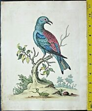 Edwards,Natural History,The Roller,Garrulus,handc.Engraving,ca. 1745#109