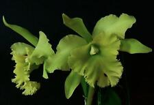 "Bin-2)-plants-Blc. Ports of Paradise ""Emerald Isle' Fcc/Aos The Best! Fragrant!"