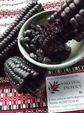Morado Sweetcorn - 25+ seeds - PURPLE and EDIBLE!