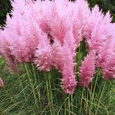 Lots Pampas Ornamental Seeds Bonsai Plant Flower Cortaderia Selloana Grass