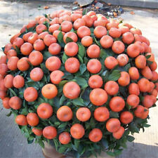 10pcs/pack Balcony Patio Potted Fruit Tree Seeds Kumquat Orange Tangerine Citrus