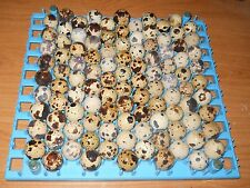 120+ KINGsBROWN XL. JUMBO brown coturnix quail hatching eggs,