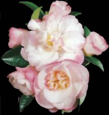 PARADISE SARAH CAMELLIA sasanqua white-pink double flowers plant in 140mm pot