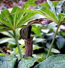 ARISAEMA CONSANGUINEUM Himilayan Cobra Lily Jack-In-The Pulpit 10 Seeds