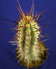 ECHINOSPSIS DESERTICOLA =21,5cm= cacti 仙人掌 กระบองเพชร kakteen #4895
