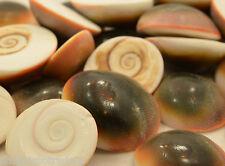 Red Cat Eye Seashell QTY - 10 PIECES Shell Healing Reiki Transformation Change