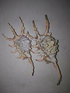 2 X lambis Scorpius Sea shells. Collectors. Scorpion conch coastal #2
