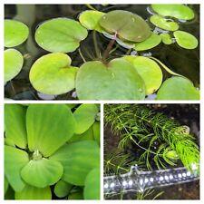 Pond/Aquarium floating plant pack bundle- Frogbit, Water Lettuce, Hornwort