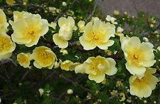 RARE 6 graines ROSIER JAUNE DE CHINE(Rosa Hugonis)G290 MANCHU ROSE SEEDS SAMEN