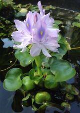"6 Water Hyacinth Flowe Plants for Aquatic Ponds & Tanks 3"" or bigger each,"