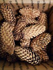 "38 Montana White Pine Cones 3- 4 "" for wedding wreaths holiday decor Free Ship!"