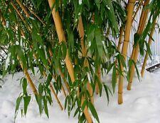 "1 Foot ""Gold""  VIVAX  Giant Bamboo  'Aureocaulis' Random green stripes -Bar Code"